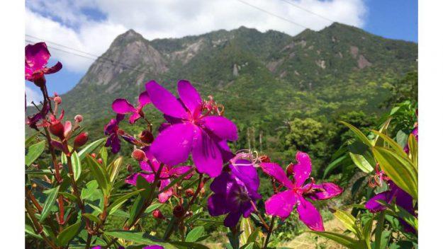 屋久島の花シコンノボタン