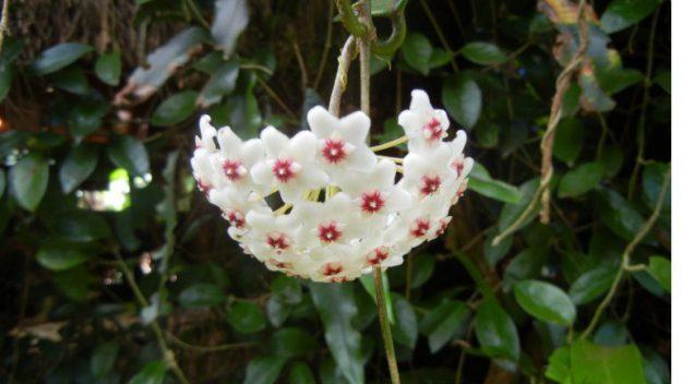 屋久島の花サクララン