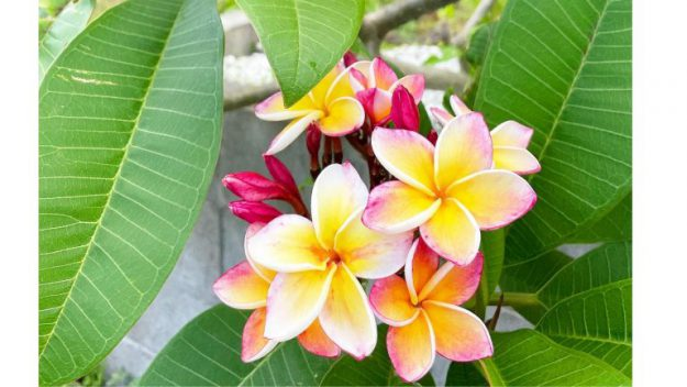 屋久島の花プルメリア